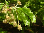 Bg (Fagus sylvatica)